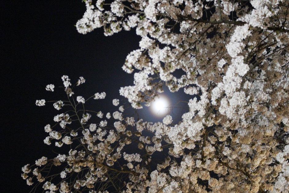 sumomo365_20180403_H.jpg