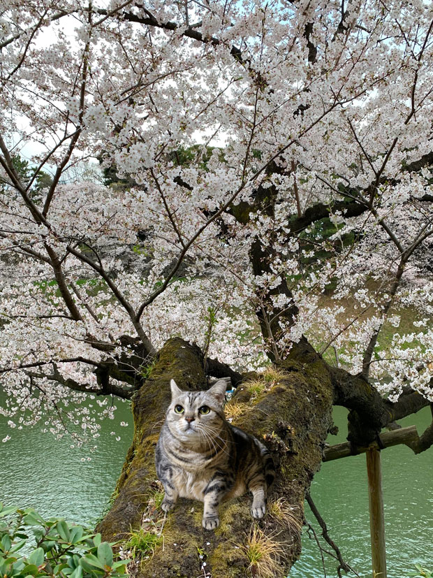 sumomo365_201904_Sakura_05G.jpg