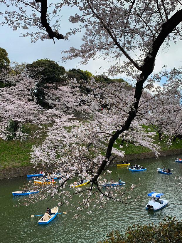 sumomo365_201904_Sakura_06.jpg